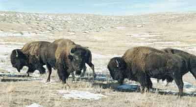 bison hunts buffalo hunting
